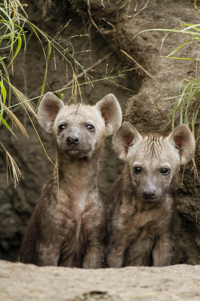 Two young hyena peer out from their safe den.