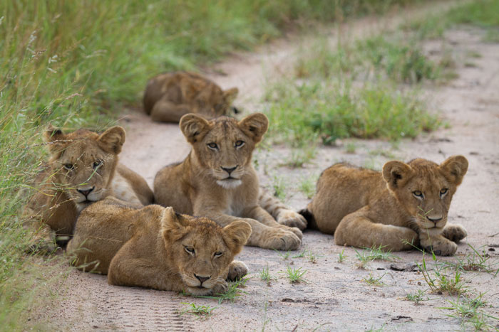 The Mhangeni cubs lie around, wondering where their mothers will lead them tonight.