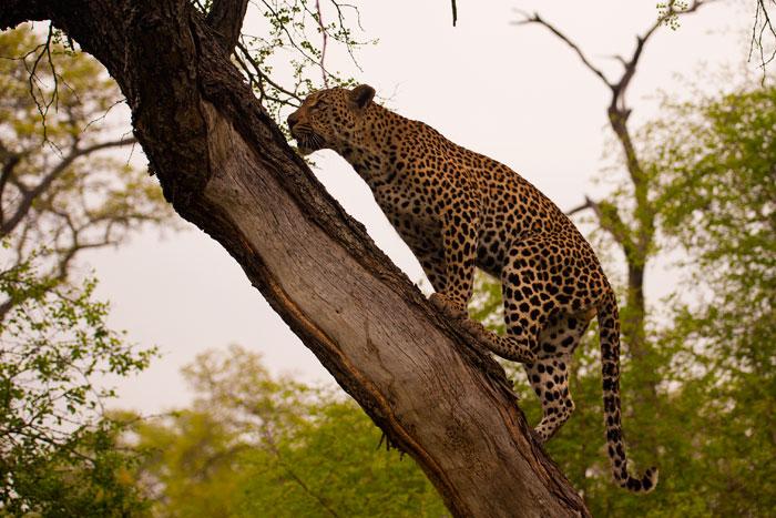 Dudley-33-climbs-tree