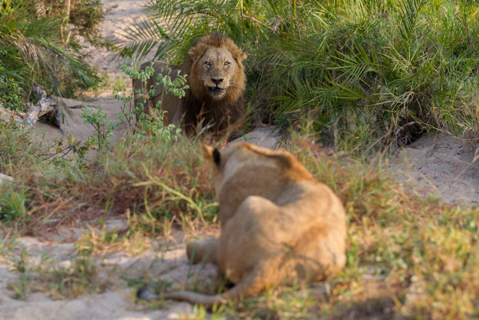 The young Tsalala lioness, STILL wary of the Majingilane, crouches low as the Hip-Scar male approaches