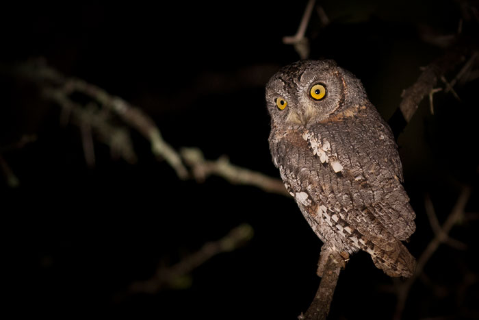 "A curious Scops Owl. The smallest owls found in Southern Africa, Scops Owls can often be heard calling to each other with their soft 'Prrrrrrp""."
