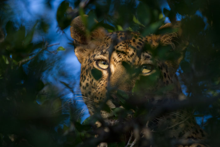 A tough sighting to photograph. The Mashaba female had hoisted the remins of an impala into the boughs of a Tamboti tree, and I was struggling to focus automatically though the leaves. Switching to manual focus, I waited until she moved her eye across this gap, and luckily got the timing of the shot right.