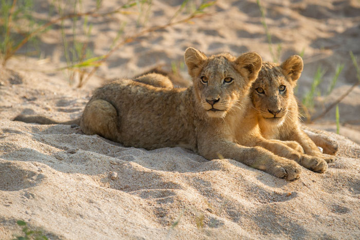 Two of the cubs, meanwhile, watch from the sandy Manyelethi riverbed nearby.