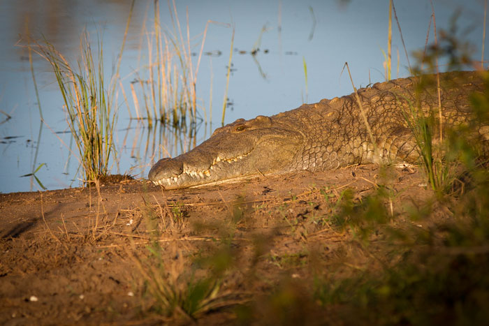 A Nile crocodile enjoys the evening light at Ronnie's Dam.