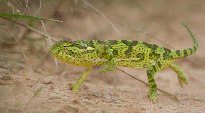A flap-necked chameleon that I had nearly flattened with the Land-Rover. Had it not been for Mike Sihtole's eagle eyes, this little guy's camouflage would have fooled me and he may have ended up pancaked, but fortunately I was able to hit the brakes in time!
