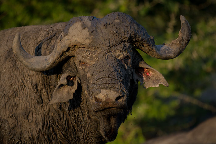 A grumpy buffalo bull gives us the evil eye after being disturbed during his afternoon mudbath.