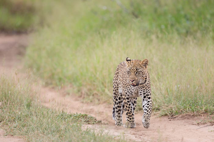 The Tamboti young female approaches us on the road.