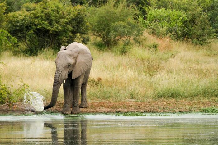 An Elephant drinking.