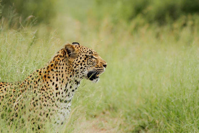 The Tamboti female, one of the first times Life picked up my camera and snapped this beautiful shot.