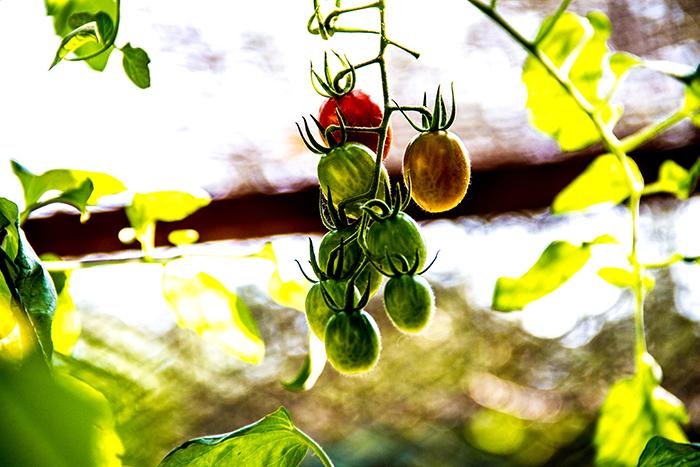 A clump of banana fed vine tomatoes in Chris Goodman's Londolozi garden.