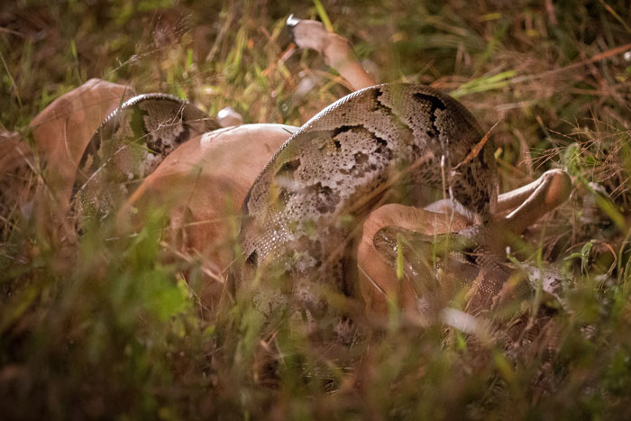 The python's coils assist the swallowing by crushing the impala's ribs.