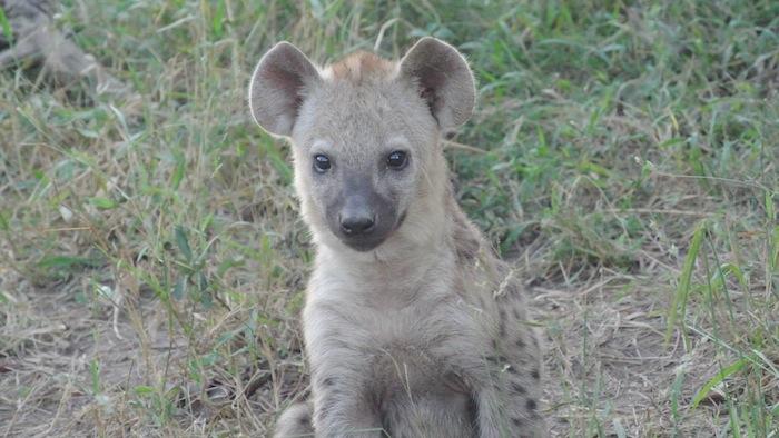 Quissy little hyena 2 (1)