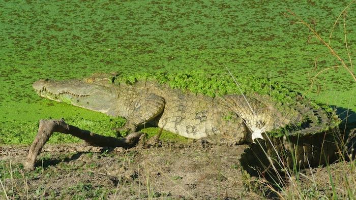 Crocodile undercover
