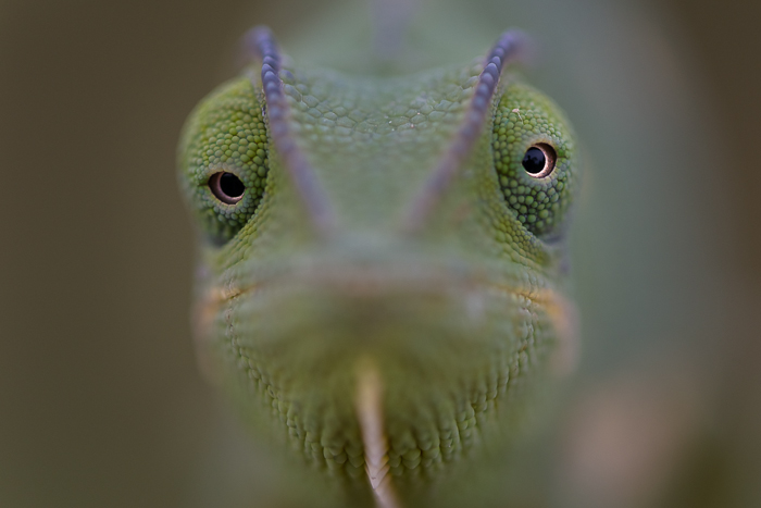 The incredible eyes of a Chameleon are emphasised by the prehistoric ridges that run above them. ISO 640, f5, 1/400. By Simon Smit