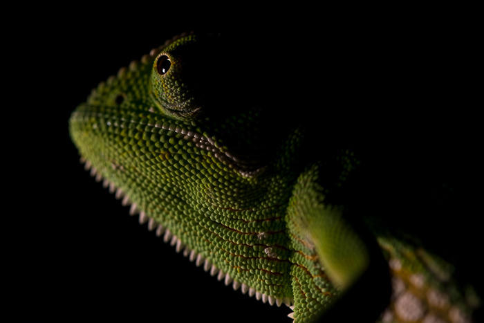 The incredible texture of a chameleons scales can be seen in this image. ISO 1250, f7.1, 1/200. By Simon Smit