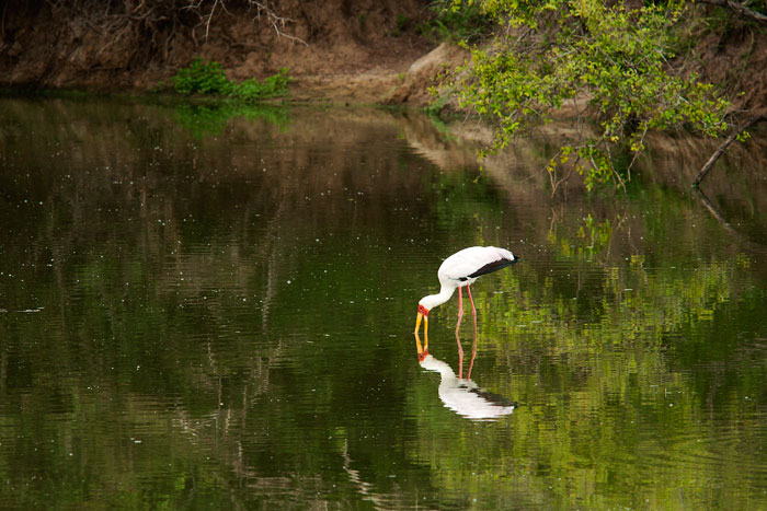 Yellow-billed-stork-reflection