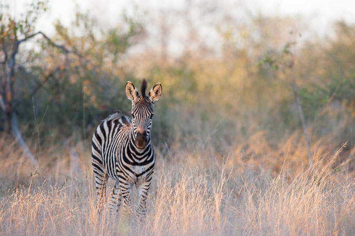 A young Zebra in the last shimmers of afternoon light.