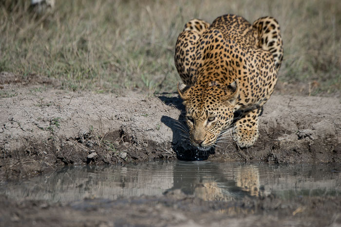 The Mashaba female quenches her thrist after a morning of mating.