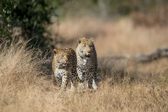 Mashaba female and Marthly male during courtship.