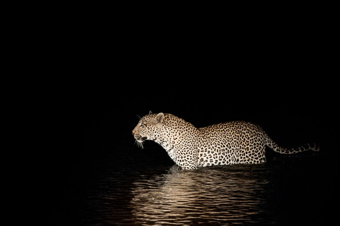 The Marthly male crossing the Sand River in the dark.