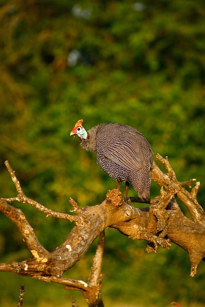 guinea-fowl
