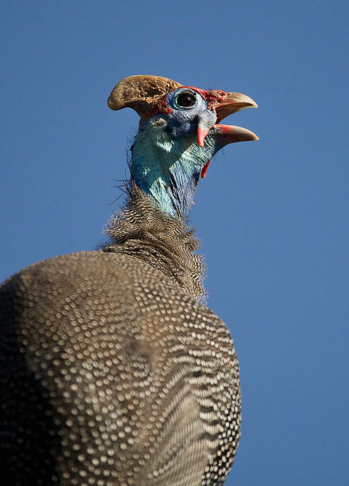 guinea-fowl-5
