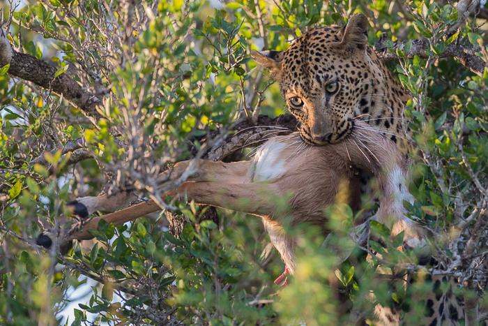 A female leopard clutches tightly onto an impala as she scrambles into the highest branches of a tree narrowly escaping an approaching hyena.