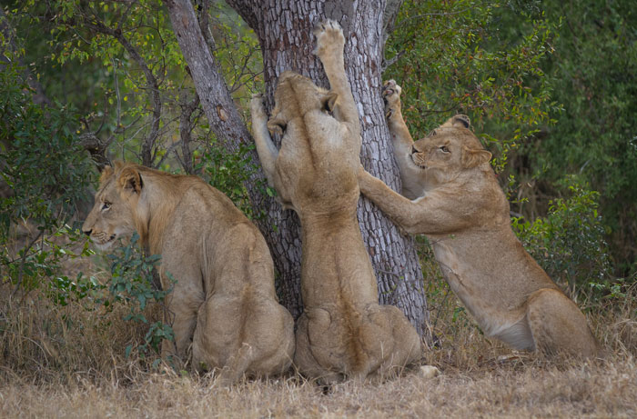 Some of the Sparta pride stretch against a leadwood tree in preparation for a buffalo hunt.