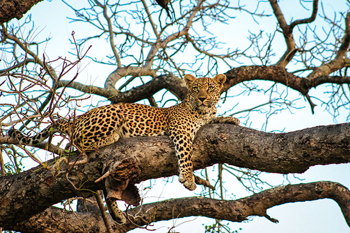 Look at trees. Leopards are notorious for lazing about in large trees.