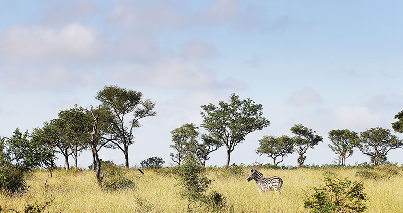 londo_zebra