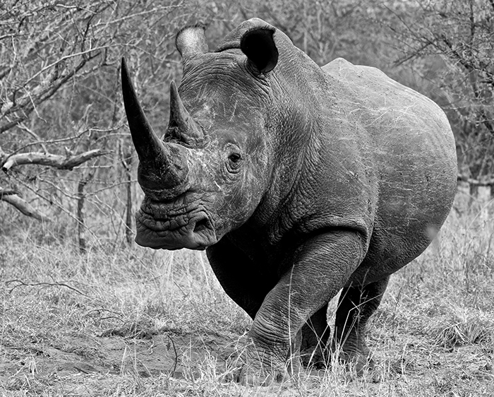 A white rhino eyes us out carefully.