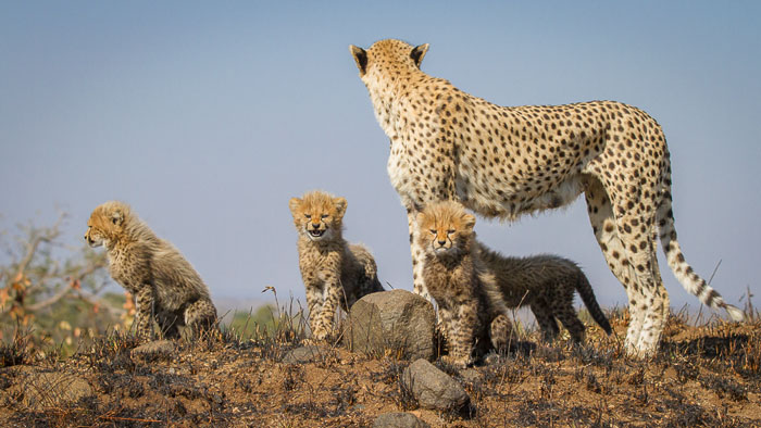 Quintessential Cheetah poses on top of a termite mound. Kate Neill