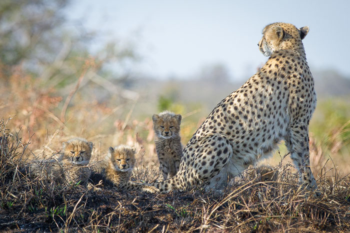 3 of the 4 young cubs, peer over the watchful mother back. Kate Neill