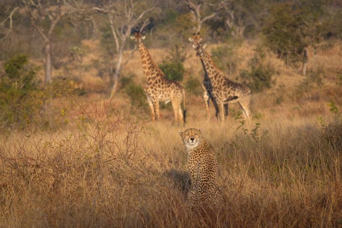 CheetahGiraffe