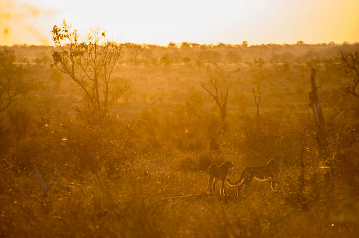 Late afternoon sun with 2 new young male cheetah brothers.