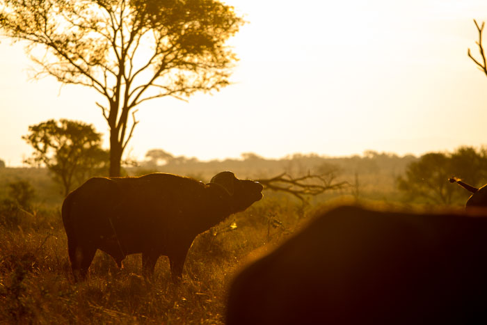 Afternoon spent with large herds of Buffalo are always a favourite.