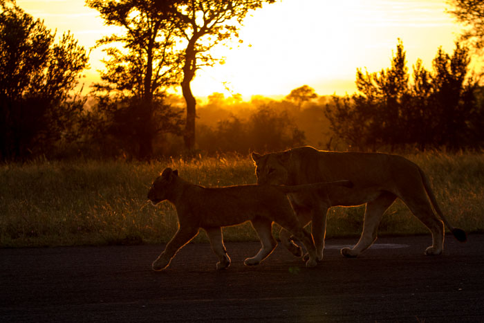 The Mhungeni pride wakes up in the warmth of the rising sun.