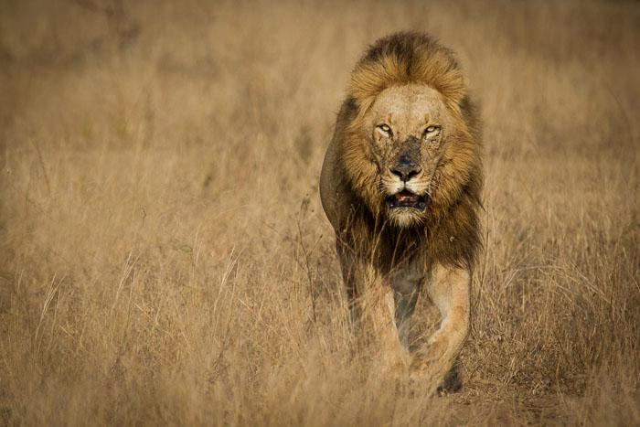 An approaching Majingilane male lion in the caramel coloured grass.