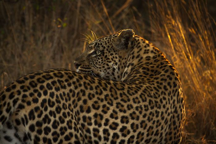 The Tamboti female backlit by some afternoon rays.