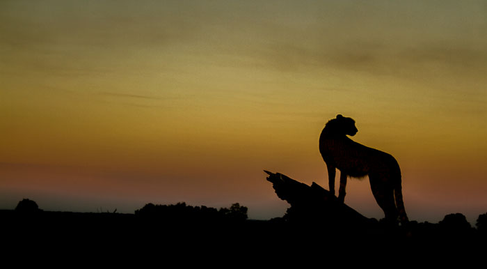 The silhouette of a male cheetah at sunset.