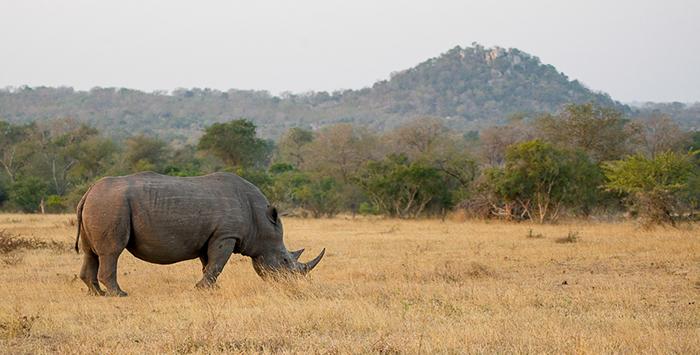 rhino and koppie