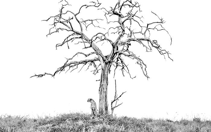 blog-cheetah-knobthorn-1-of-1
