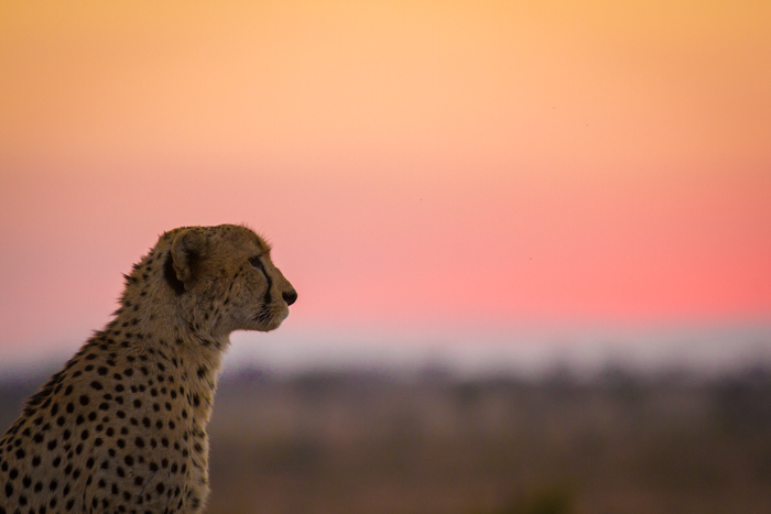 CheetahSunset2
