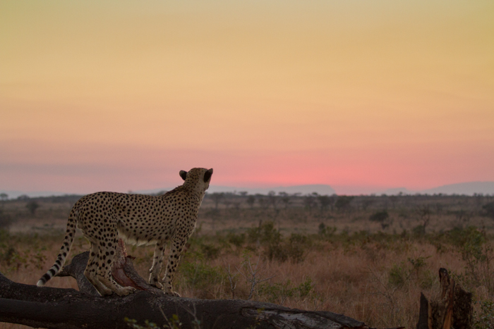 CheetahSunset