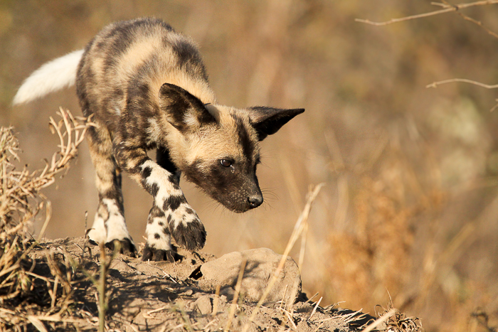 Wild Dog Approach