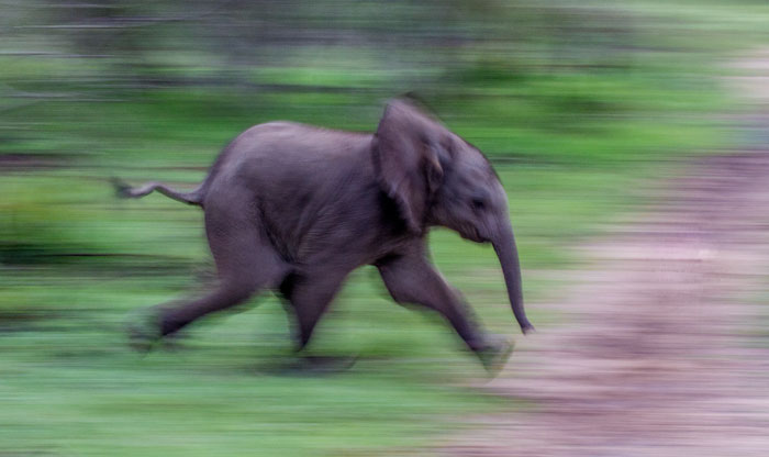 Elephant-Running