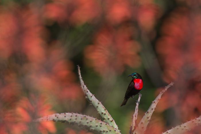Aloesflowering
