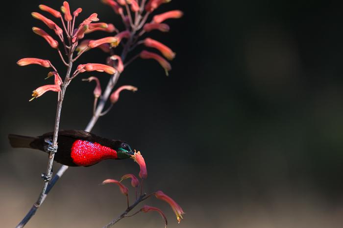 Aloesflowering-4