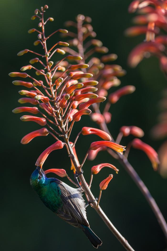 Aloesflowering-3
