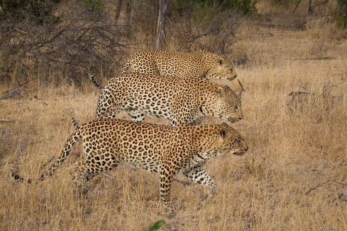 The Difference Between A Leopard And A Cheetah Londolozi Blog